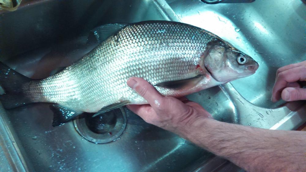 whitefish.thumb.jpg.a7aa20f643b7407a445e1b3be237c77b.jpg