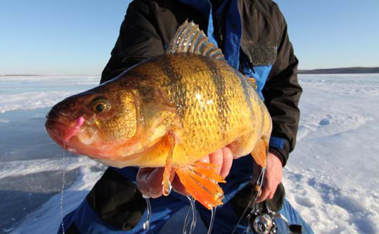 Late Ice Perch – Bug Brained Perch at Late Ice