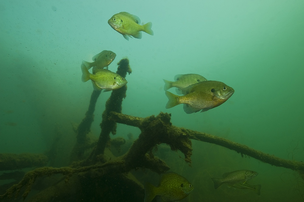 "(Photo courtesy of Aqua-Vu) – ""Isolated brush and wood piles attract a bounty of bluegills and bass."""