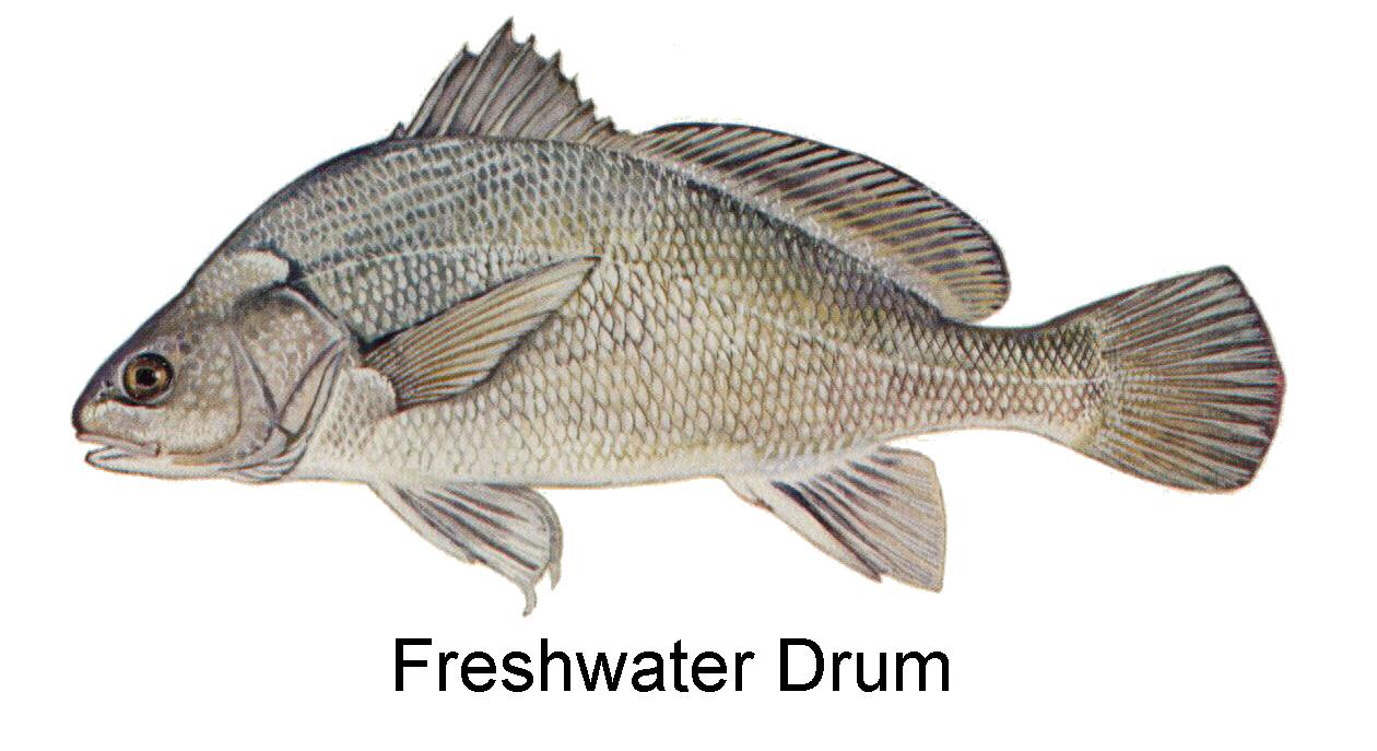 Sheepshead fish freshwater images for Saltwater drum fish