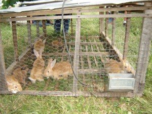 Raising meat rabbits on the homestead