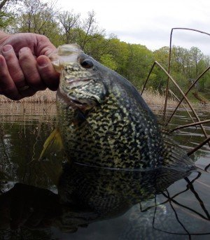 Spring panfish in Mississippi river north fishing reports