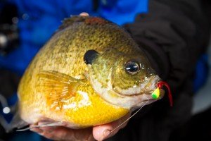 Experience Wins Over – Ice Fishing Perch, Crappies & Bluegill