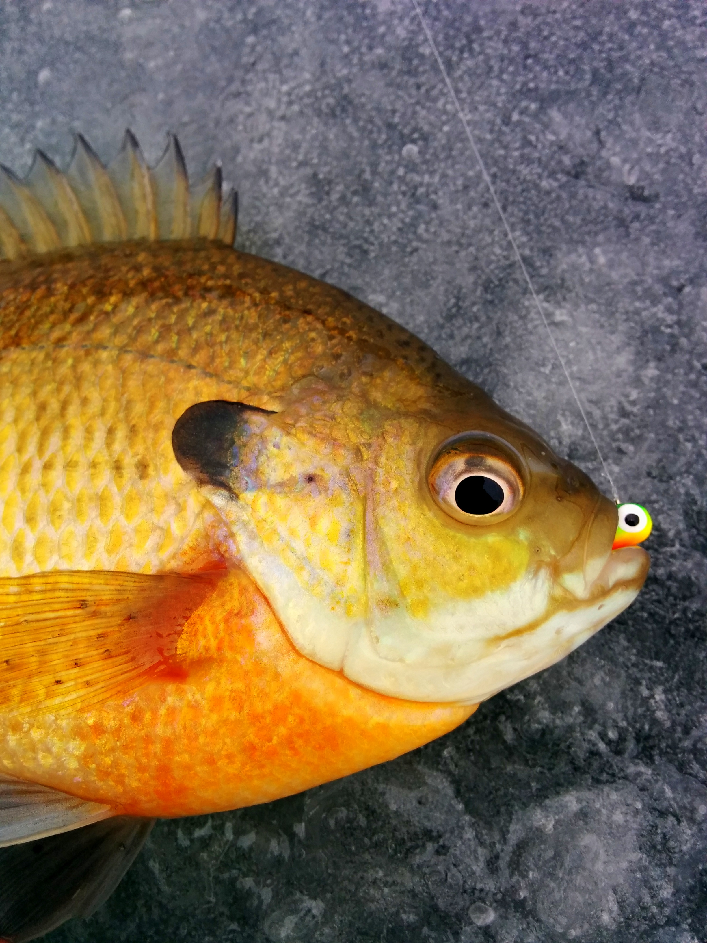 7 ice fishing facts to help you catch early season panfish for Ice fishing lures for panfish