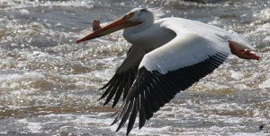 Watch the skies for pelicans migrating to Minnesota