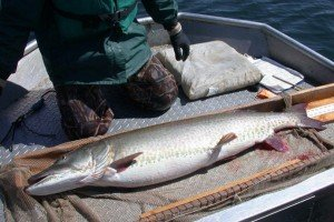 Better fishing thanks to MN DNR musky study