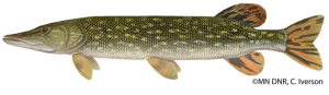 Minnesota Northern Pike Problems: You Can Still Comment
