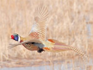 Where Are Those Ring Necked Pheasants?