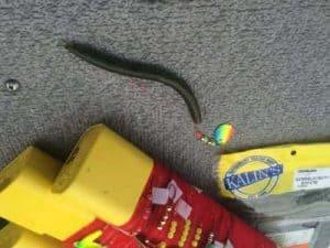 Spinner Rig Snake Rigging Walleye